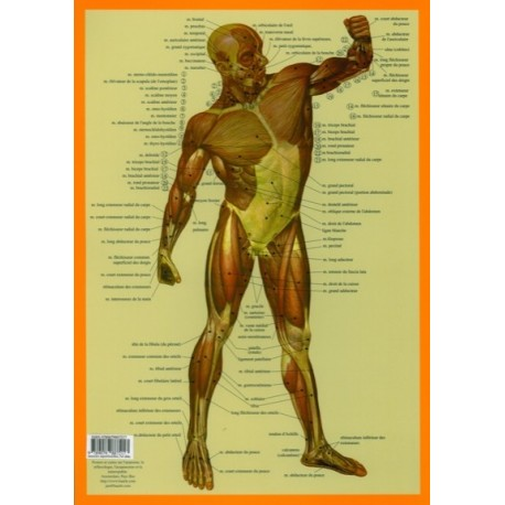 Muscles du corps humain - Planche A4 x 2